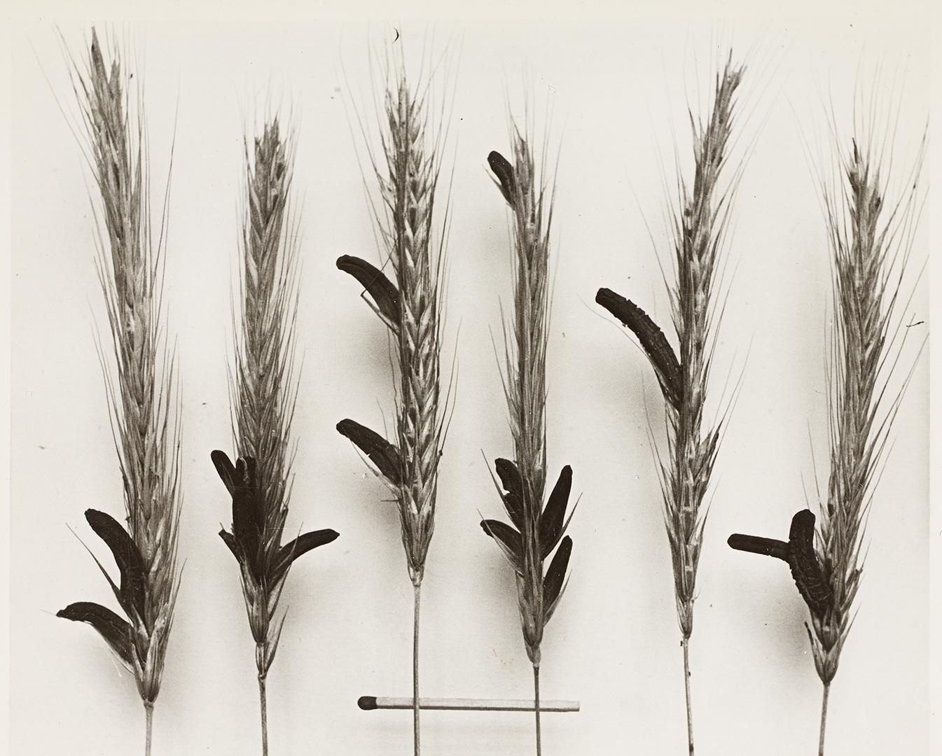 Mit Mutterkorn befallene Roggenähren, aus der Zucht der Sandoz AG, Institut für Medizingeschichte der Universität Bern, Nachlass Albert Hofmann