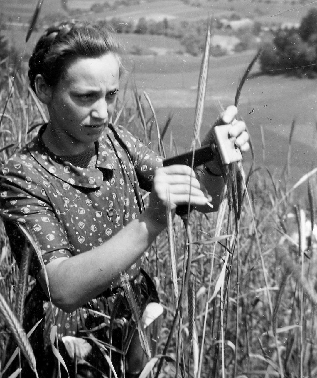 Pistolenimpfung der Roggenähre mit Mutterkorn, 1943. © Novartis Firmenarchiv
