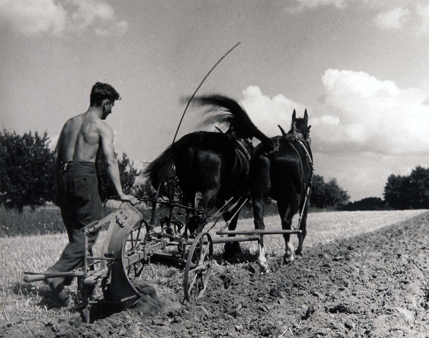 Agriculture dans les années 1930: un paysan laboure un champ avec une charrue à cheval de trait.