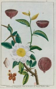 Unnumbered plate, Besenvalia senegalensis, in: Pierre-Joseph Buc'hoz, Les Dons merveilleux et diversement coloriés de la nature dans le règne végétal […], Paris, chez l'Auteur, rue de la Harpe, [1782], 2 vol., in-folio.