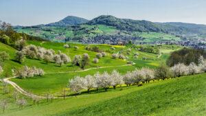 Les cerisiers du Fricktal en fleurs. En arrière-plan le village de Frick avec le Frickberg.