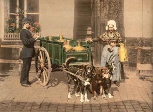 Milchtransport mit Hunden in Belgien.